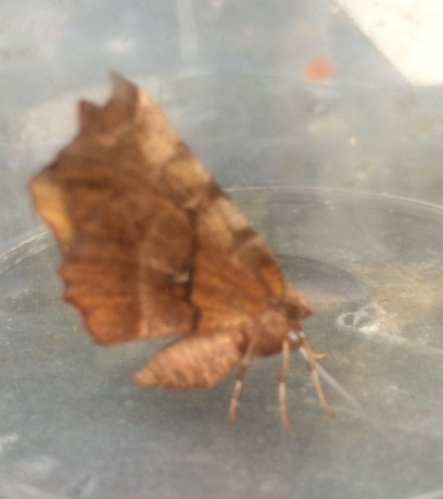 Early thorn (2nd generation (Selenia dentaria)